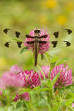 Twelve-Spot Skimmer Dragonfly Resting on Red Photographic Print