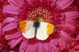 Male Orange Tip Butterlfy on Pink Gerbera Flower Photographic Print