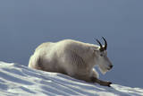 Rocky Mountain Goat Resting on Snow Photographic Print