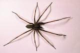 House Spider Hairy Photographic Print