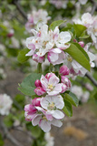 Apple Trees in Blossom in May Photographic Print