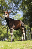 Okapi Male Photographic Print