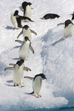 Adelie Penguin on Iceberg Fotografisk tryk