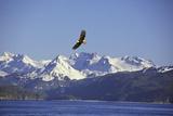 Bald Eagle in Flight Papier Photo