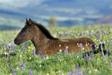 Wild Horse Colt Rests Among Lupine and Bistort Photographic Print