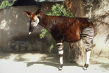 Okapi Photographic Print