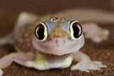 Palmato Gecko Close Up of the Head with Water Droplets Photographic Print