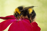 Common Bumblebee Collecting Pollen on Primula Flower Photographic Print