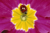 Harlequin Ladybird on Flower Photographic Print