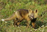 Red Fox Pup Near Den Site in Alaska Arctic Photographic Print