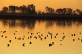 Shorebirds on Salt Pond at Sunrise Photographic Print