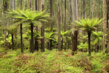 Wet Sclerophyll Forest Consisting of Mainly Mountain Photographic Print