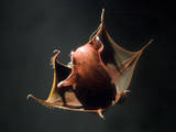 Vampire Squid Going into Opineappleo Defense Posture Fotografisk tryk
