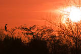 Common Cormorant Silhouetted in Tree Against Sunset Reproduction photographique