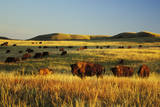 American Bison Herd Fotografisk trykk