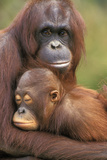 Orangutan Mother with Baby Photographic Print
