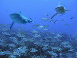 Grey Reef Sharks Swimming over School of Black-Spot Photographic Print