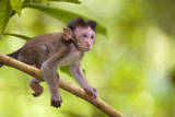 Crab-Eating Macaque Baby Monkey Fotografisk trykk