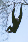 Pileated Gibbon Hanging in Tree Photographic Print
