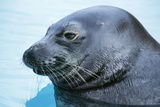 Hawaiian Monk Seal Close Up of Head Photographic Print