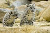 Snow Leopards Cubs Fotografisk tryk