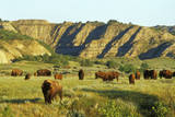 American Bison Herd Photographic Print
