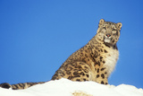 Snow Leopard Sitting in Snow Photographic Print