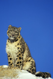 Snow Leopard Sitting on Snow Covered Rock Against Blue Sky Photographic Print
