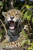 Jaguar Lying Down Yawning Photographic Print