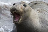 Northern Elephant Seal Photographic Print