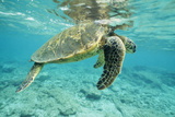 Green Sea Turtle at Water's Surface Photographic Print