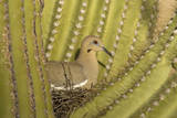 White-Winged Dove Photographic Print