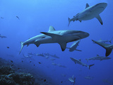 Grey Reef Sharks Photographic Print