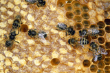 Honeybee Workers Tending Honeycomb Photographic Print