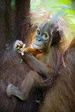 Sumatran Orangutan 9 Month Old Infant Fotografisk tryk