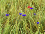 Corn Flowers and Field Poppy Photographic Print