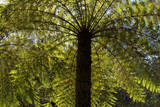 Tree Ferns Magnificent Tree Ferns Grow Along Photographic Print
