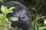 Mountain Gorilla Fotografisk tryk