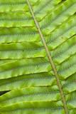 Fern Structure Structure Details of a Blechnum Fern's Leaf Photographic Print