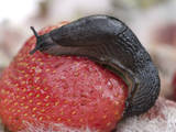 Large Black Slug on Mouldy Strawberries Photographic Print
