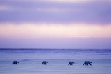 Polar Bear Mother and Yearling Cubs Photographic Print