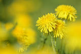 Dandelions in Full Bloom on a Meadow in Spring Photographic Print