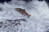 Chinook Salmon Leaping Falls During Migration Papier Photo