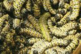Mopane Emperor Moth Caterpillars Photographic Print