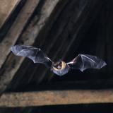 Serotine Bat in Flight in Rafters Photographic Print