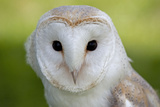 Barn Owl Fotoprint