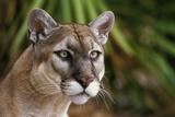 Florida Puma Fotodruck