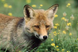 Red Fox Male Photographic Print