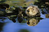 Sea Otter Resting in Kelp Bed Photographic Print