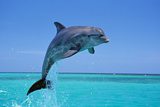 Bottlenosed Dolphin Leaping Out of Water Photographic Print